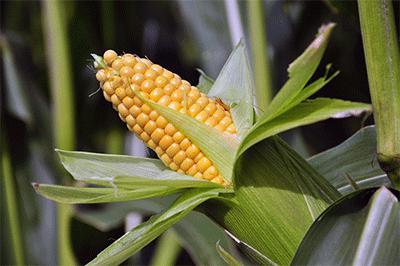 1-corn