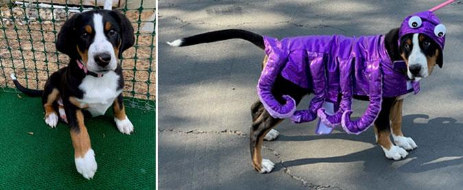 Rebecca's puppy, Luna, dressed in Halloween costume